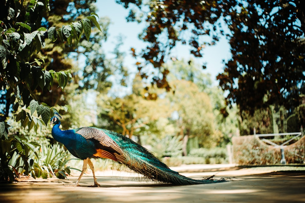 blue peacock on brown soil during daytime