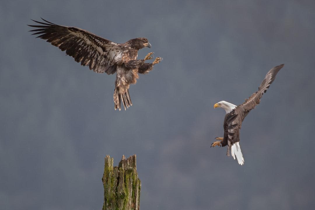 Eagles At Harrison River. - unsplash