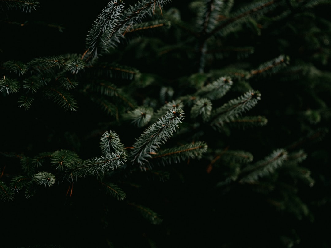 Green Pine Tree Leaves In Close Up Photography - unsplash
