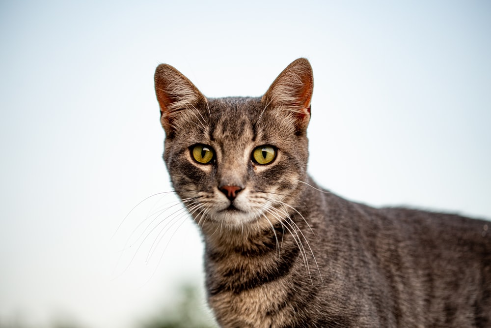 brown tabby cat in white background
