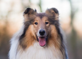 white brown and black rough collie