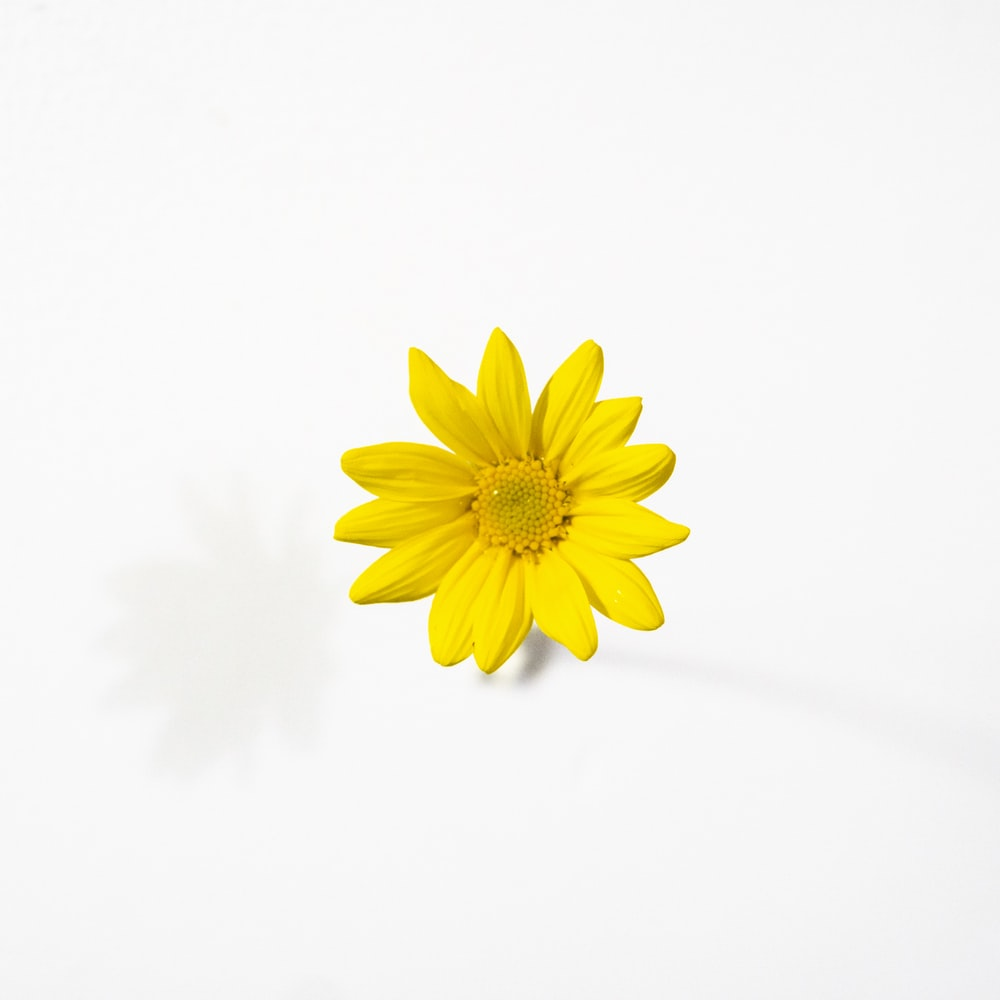 yellow daisy in bloom close up photo