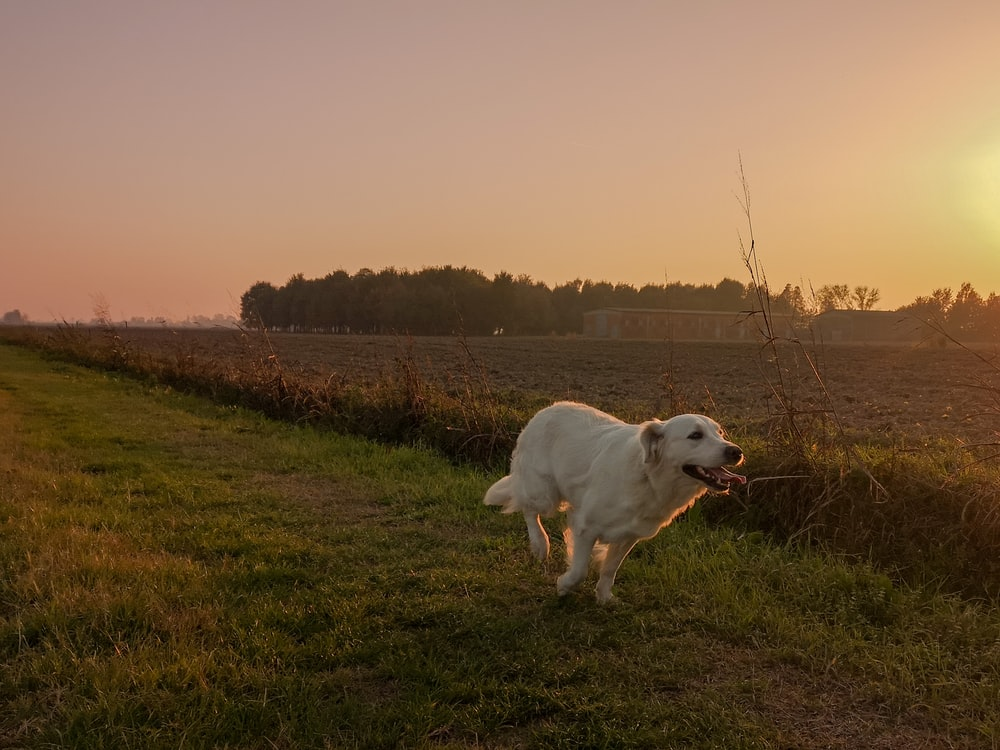white short coated dog on green grass field during daytime
