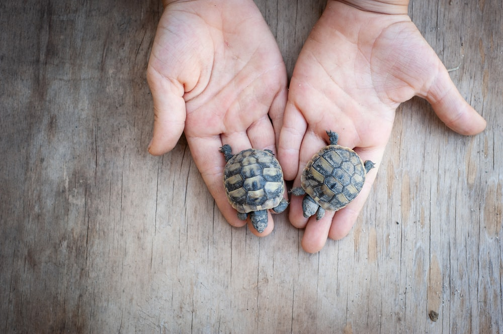 person holding two black and brown turtle
