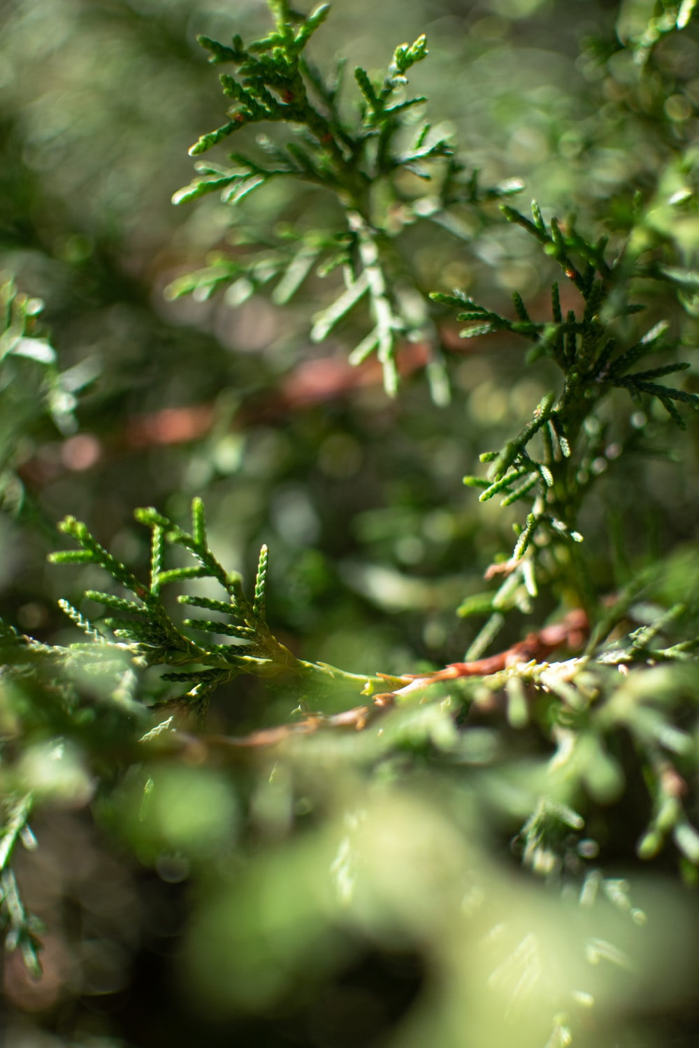 green pine tree with water droplets