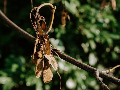 brown dried leaves on brown stem