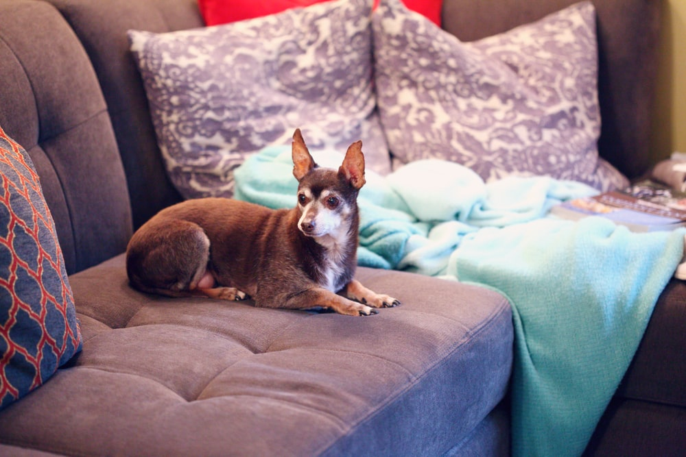 brown and white short coated small dog on blue couch