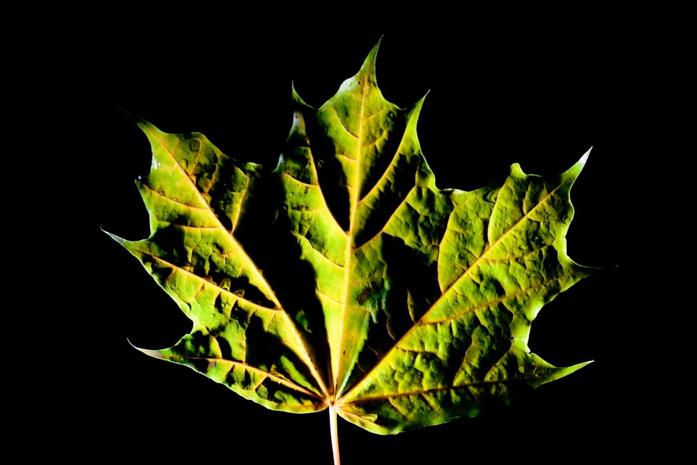 green leaf with black background
