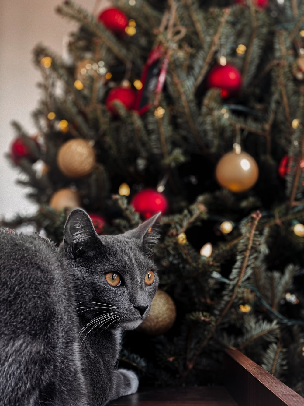russian blue cat on christmas tree