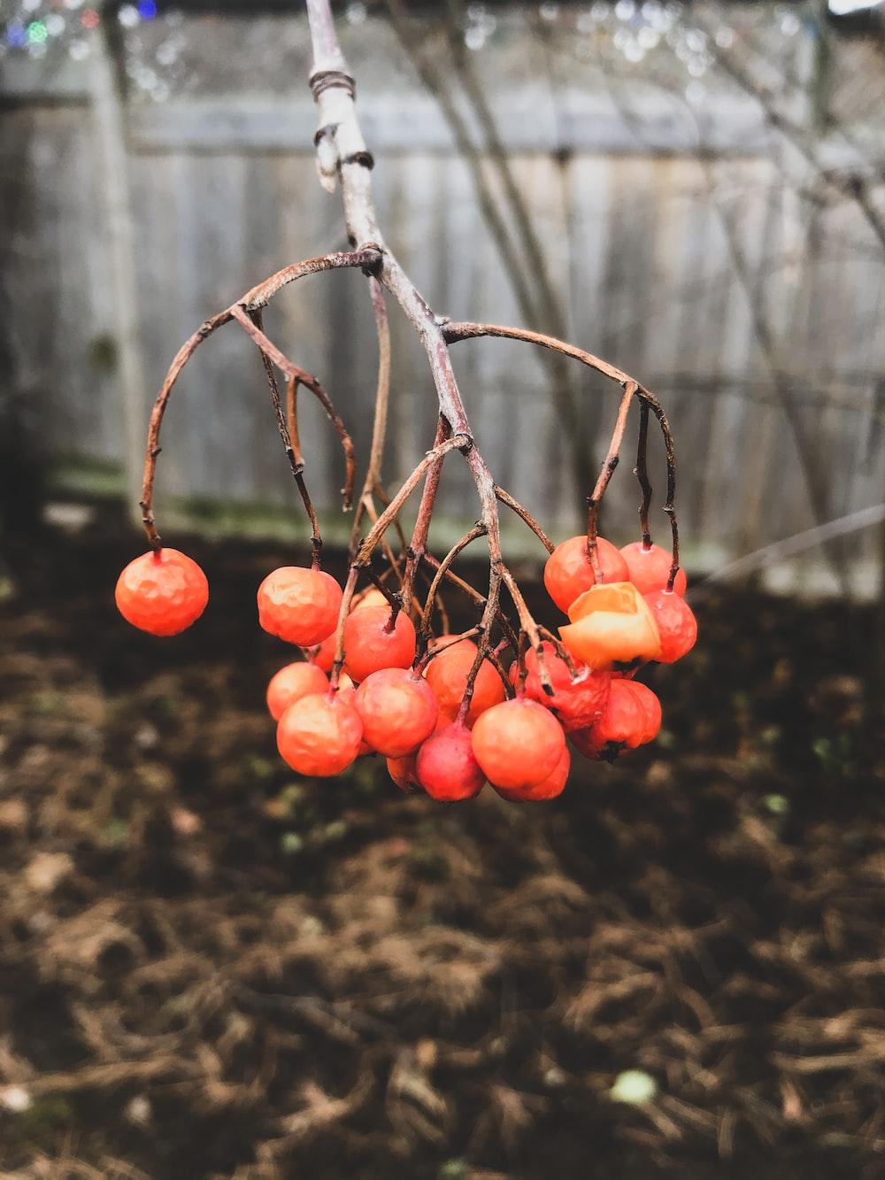 orange fruits on brown tree branch