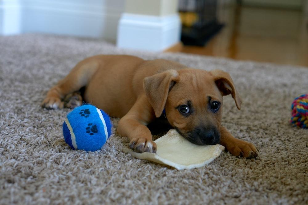 brown short coated dog lying on gray carpet
