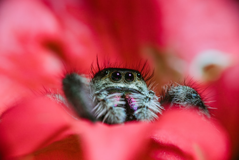 black and white spider on red flower in macro photography