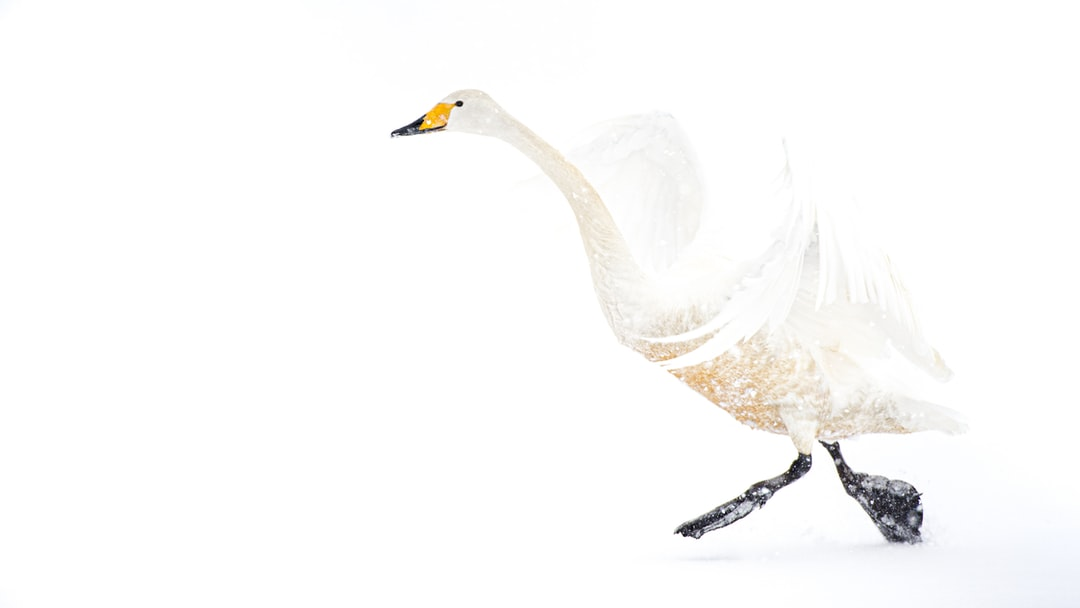 Whooper Swan Taking Off On Snow - unsplash