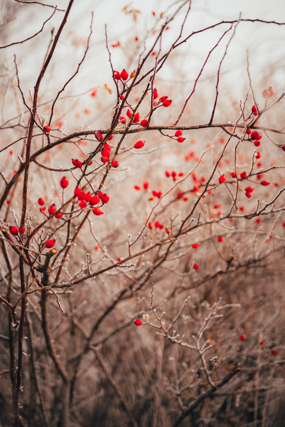 red round fruits on tree branch