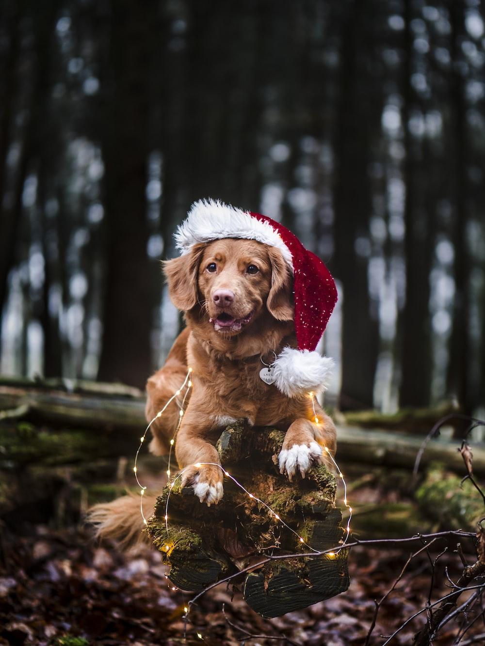 brown short coated dog wearing santa hat