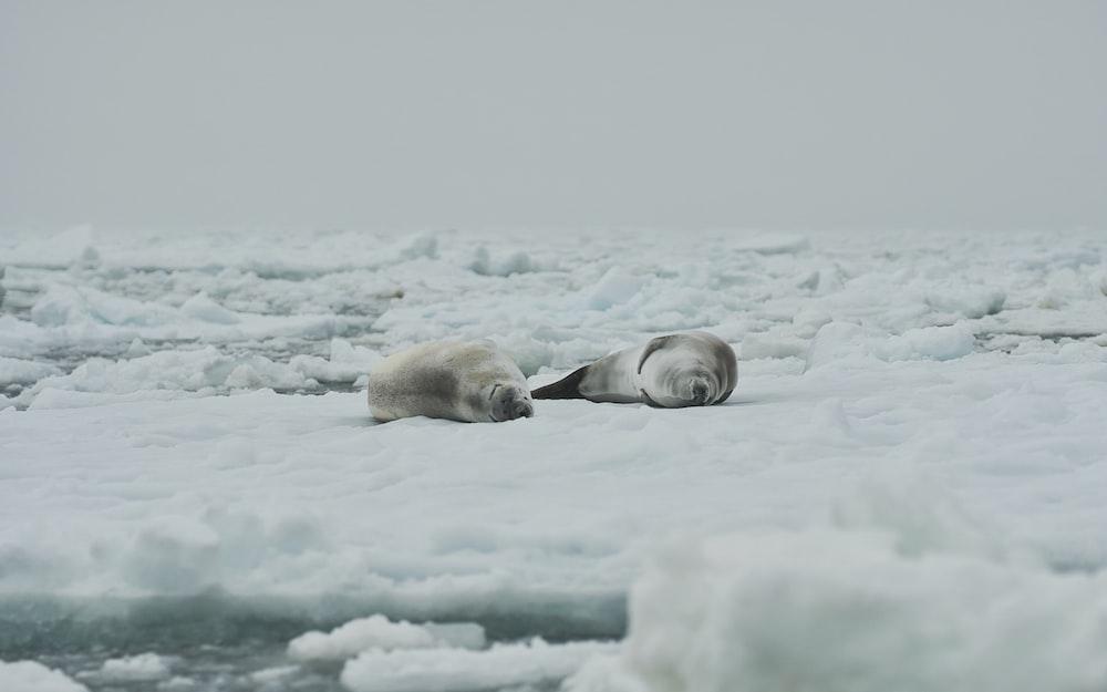 white polar bear lying on snow covered ground during daytime