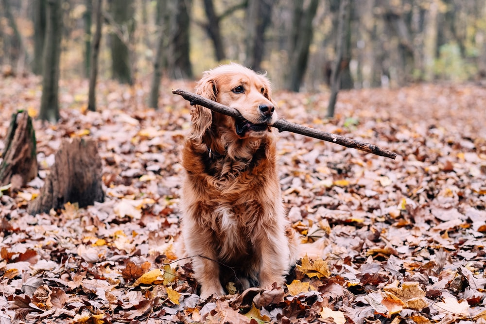 golden retriever sitting on dried leaves during daytime