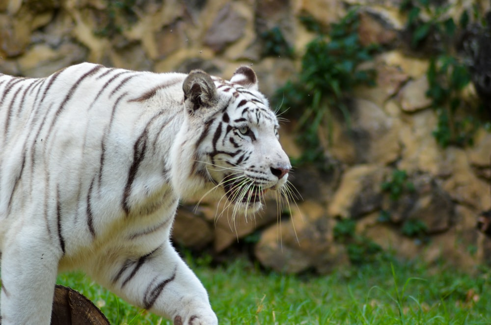 white and black tiger on green grass during daytime