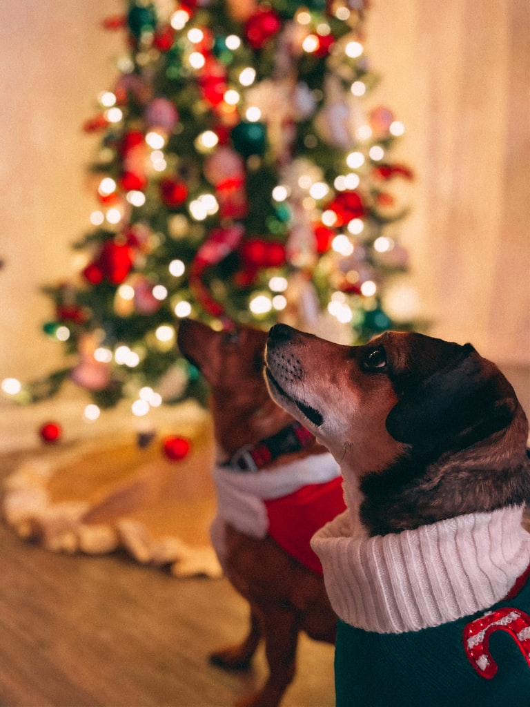 Are Christmas Trees Poisonous To Dogs?
