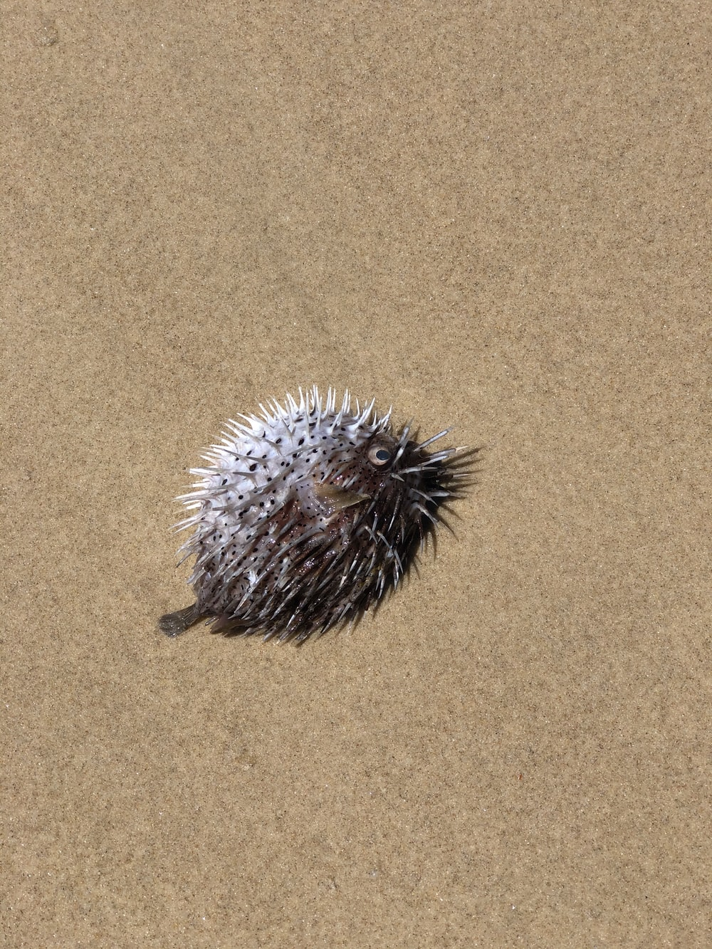 black and white hedgehog on brown sand