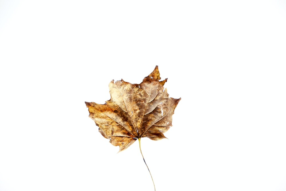 brown maple leaf on white background