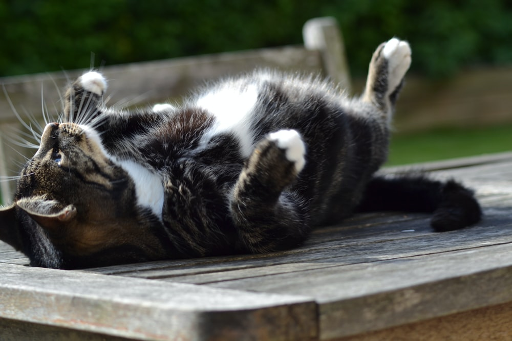 black and white cat lying on wooden plank