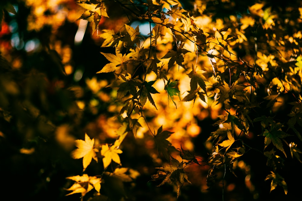 yellow leaves in tilt shift lens