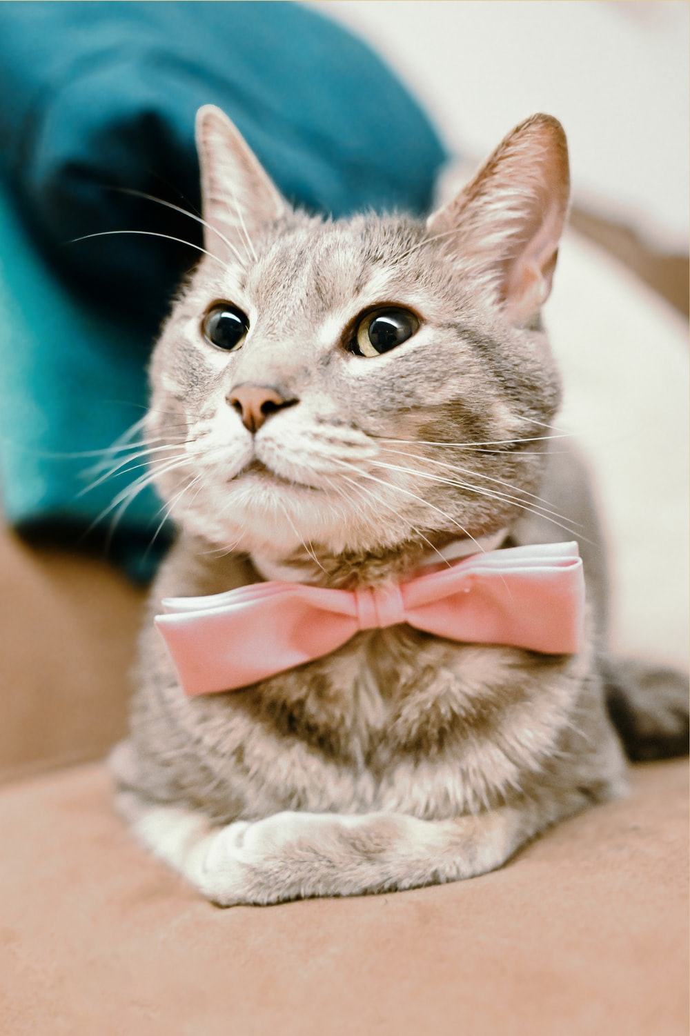 silver tabby cat with pink bowtie