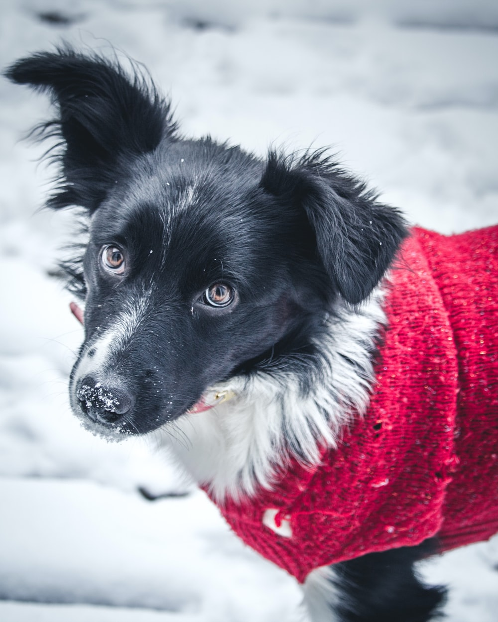 black and white border collie in red scarf