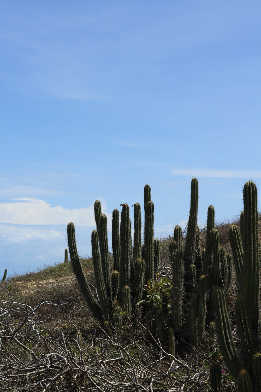 cactus plants on brown grass field under blue sky during daytime