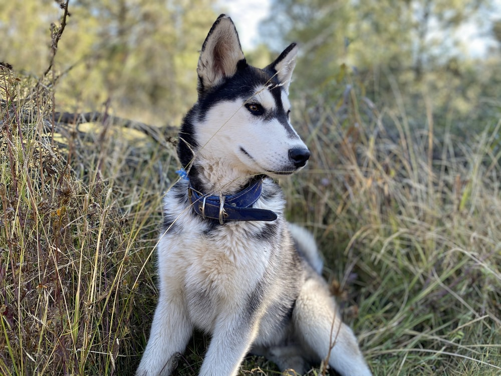 white and black siberian husky on brown grass field during daytime
