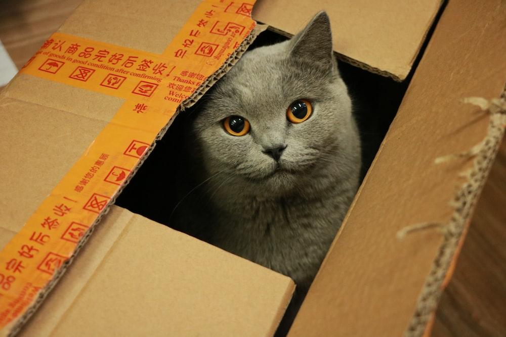 russian blue cat in brown cardboard box