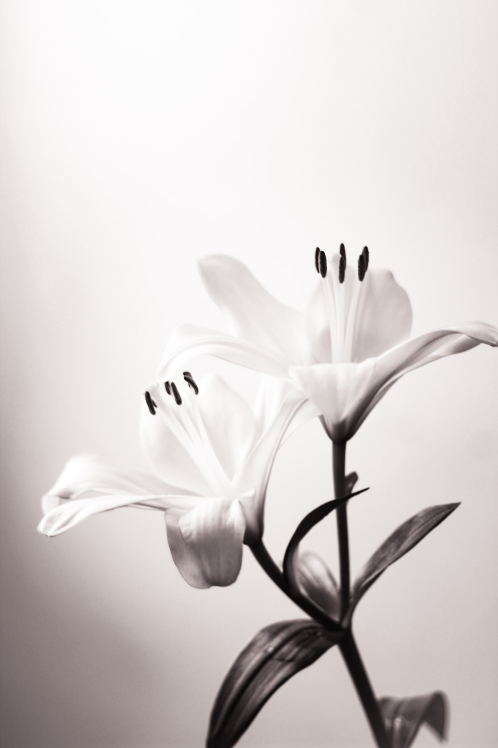 white lily in bloom close up photo