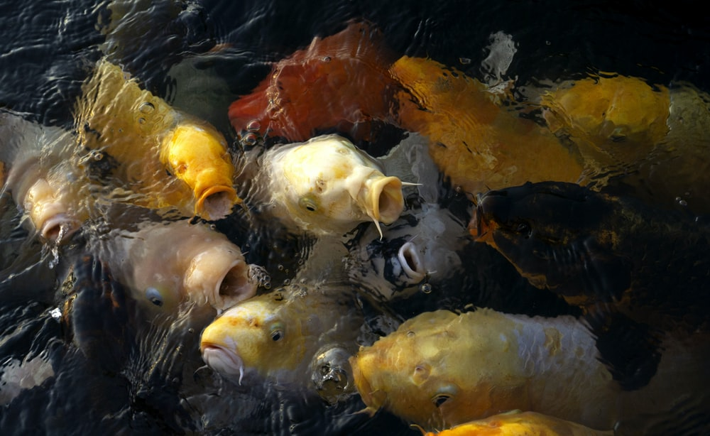 yellow and white fish in water