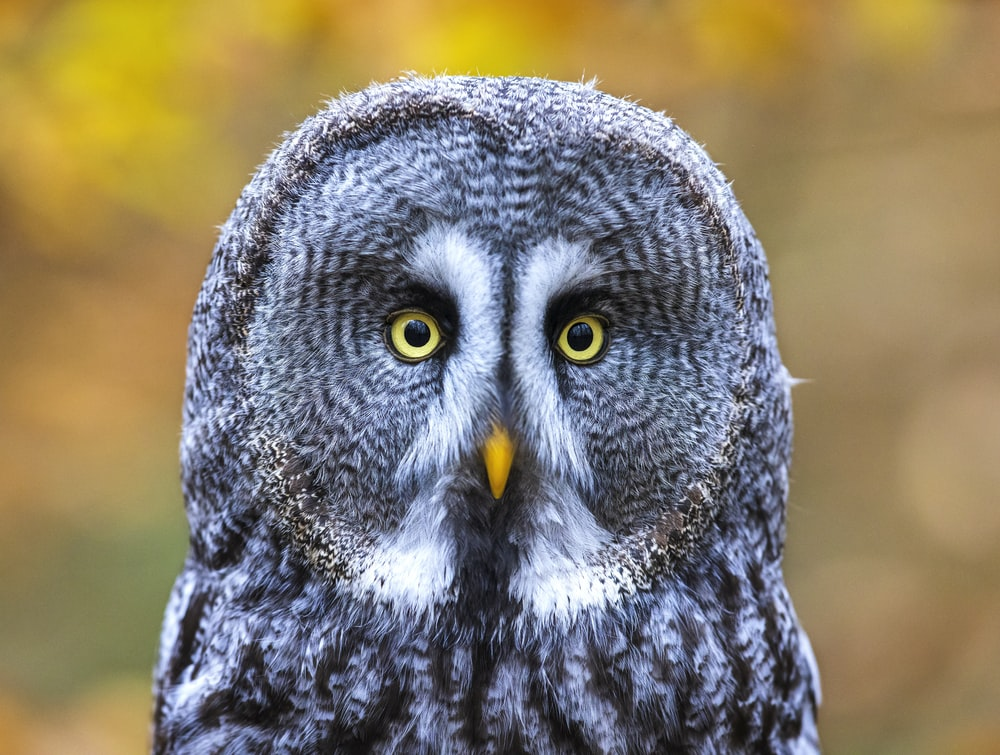 black and white owl in close up photography