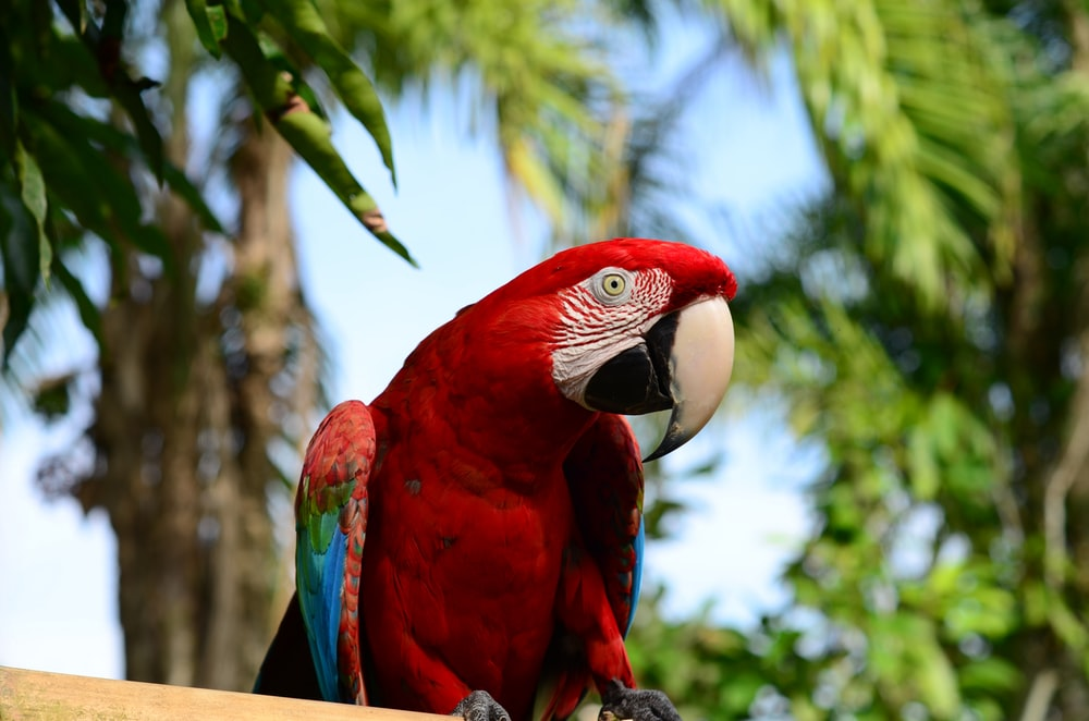 red blue and white macaw