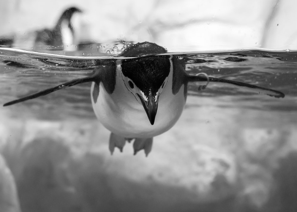 black and white penguin on water