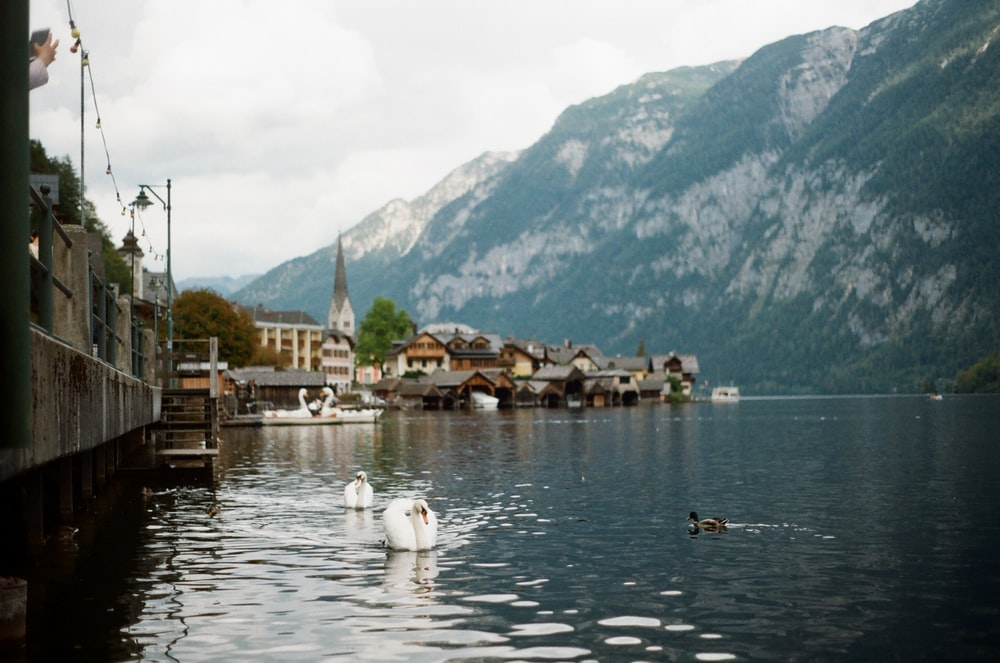 white swan on body of water near green mountain during daytime