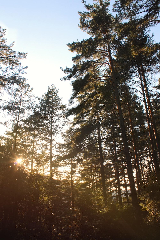 sun setting over green trees