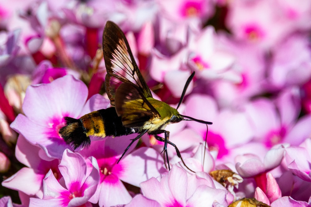 green and black hummingbird flying over pink flower