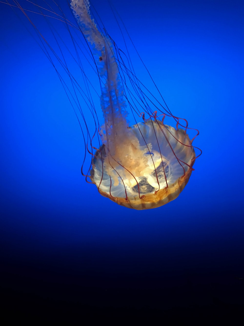 blue and white jellyfish under water
