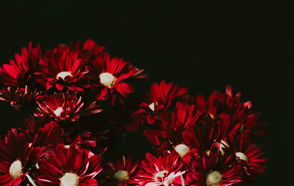 red and white flowers in black background