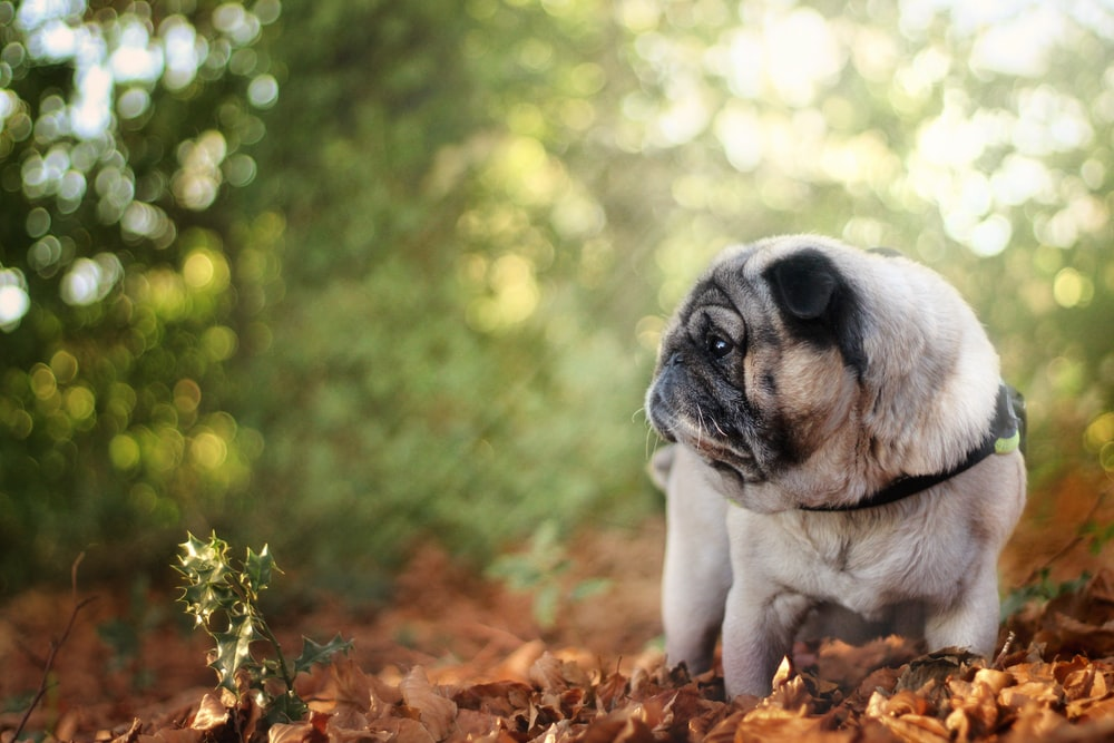 fawn pug on brown dried leaves