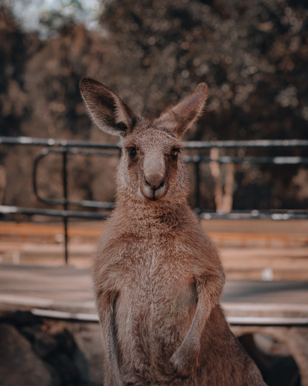 brown kangaroo standing on brown field during daytime