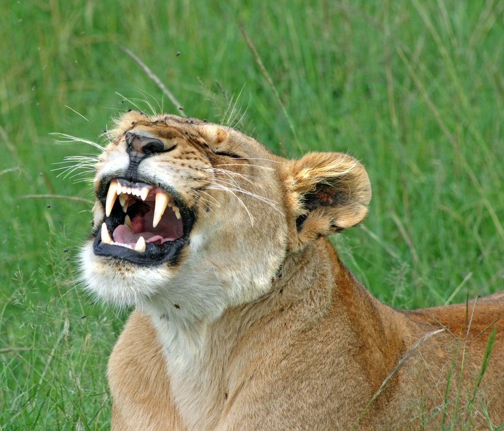 brown lioness on green grass field during daytime