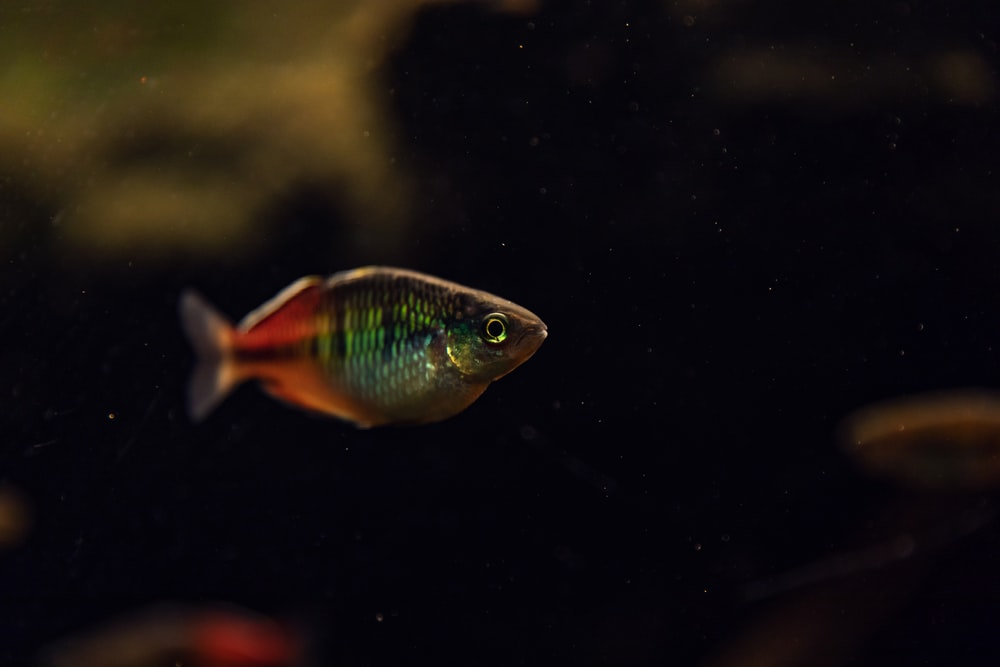 blue and orange fish in water