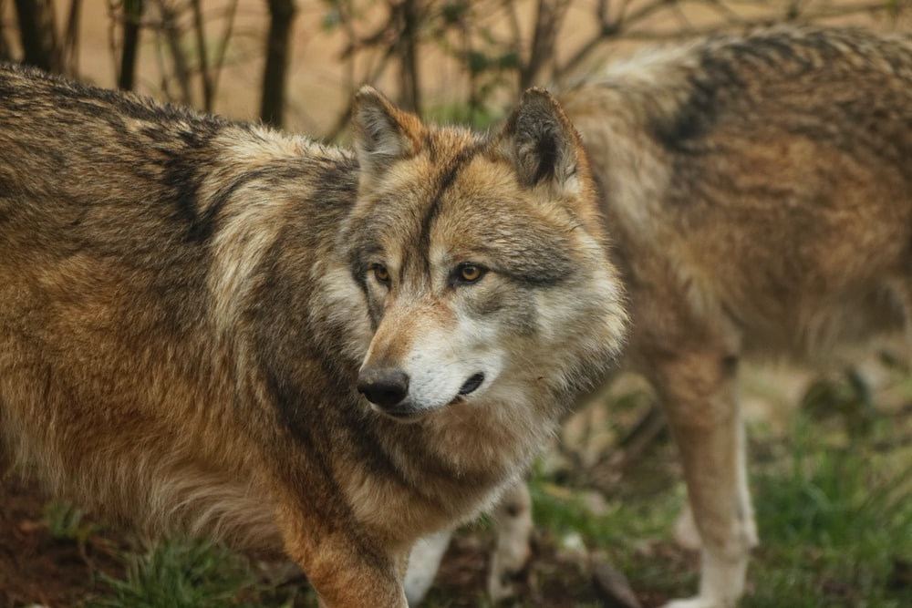 brown wolf on green grass during daytime