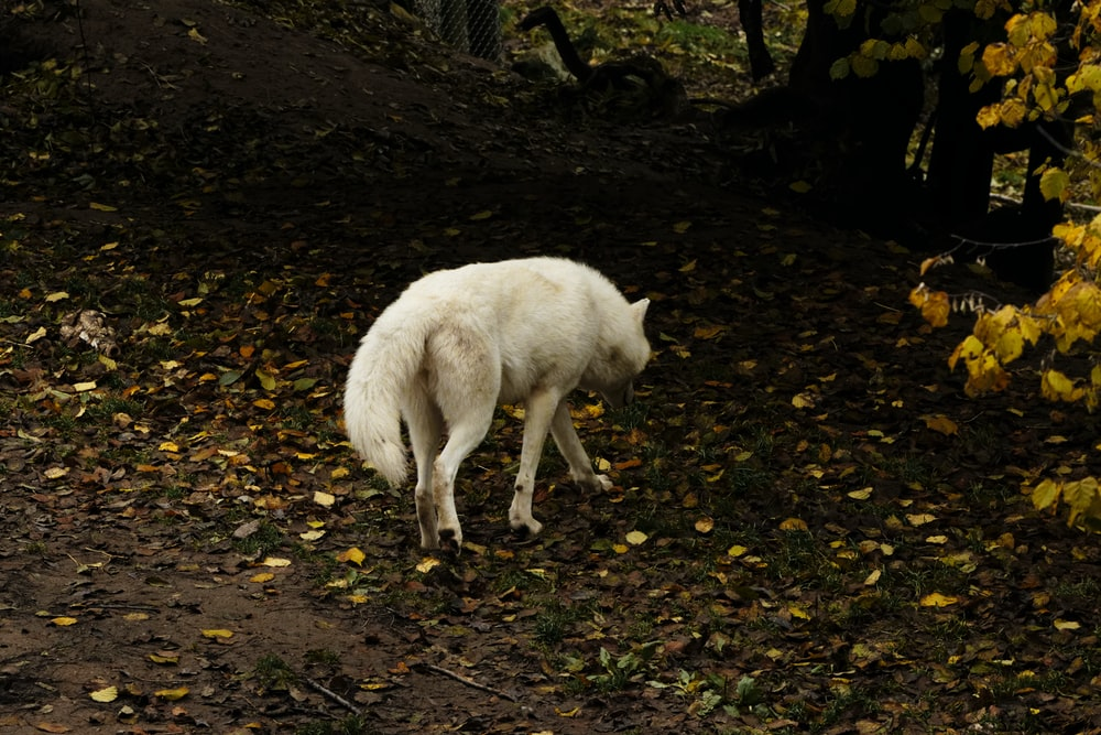 white wolf walking on dried leaves