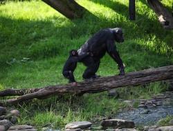 Nyungwe Forest, Schimpansen Trekkking