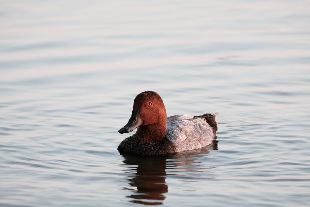 brown duck on water during daytime